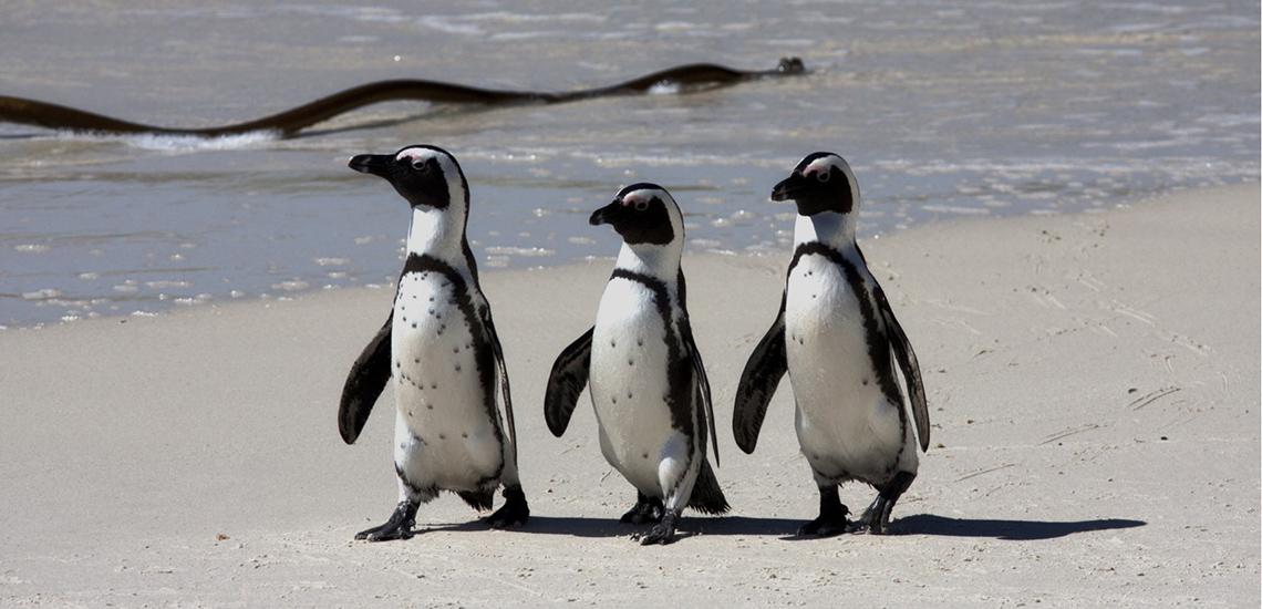 ガラ・ディナーによる主な支援活動 ペンギンの保全