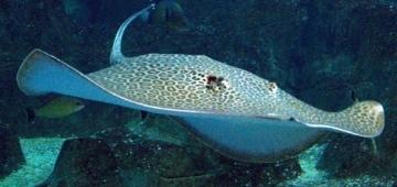 Leopard Ray(仮称:ヒョウモンエイ)は大規模な生息地の劣化と大きな漁獲圧力の結果、絶滅危惧Ⅱ類にリストアップされています。写真提供:Joe Wu