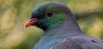 ニュージーランドバト(地方名: ケレル)写真提供:Craig McKenzie