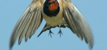 '春は生きている'イニシアティブの重要な対象種の一つツバメ写真提供:jcoelho; Flickr.com