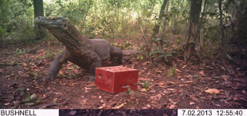 フローレス島西部で世界最大のトカゲの存在が隠しカメラで確認された。