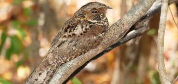 マリカオ・ススアIBA(鳥を指標とする重要生息環境)の森はプエルトリコヨタカの重要な生息地です。写真提供:Michael Morel; worldsrarestbirds.com