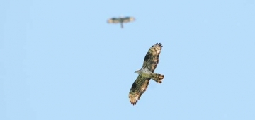 'フライウェイの擁護者'がヨーロッパ南部と東部での鳥の密猟にバードライフ・パートナーが取り組むための保護資金の調達に助力写真提供:Christian Golpke