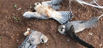 密猟の犠牲になった鳥たち写真提供:バードライフ・キプロス