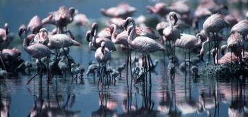 ナトロン湖で営巣中のコフラミンゴ写真提供:Sean Avery