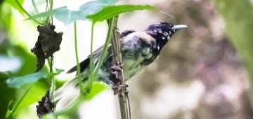 タヒチヒタキは小型のハリケーンや外来種の攻撃に耐え、かつてない繁殖の最盛期を迎えて、幼鳥時のオレンジ色から成鳥の光沢のある黒色に変化します写真提供: Moana Iti