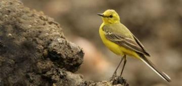 1955年以来、英国ではツメナガセキレイの個体数が43%減少した。 写真提供:Andy Hay; rspb-images.com