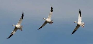これら二つの新しい合意が減少している渡り鳥の個体数回復を助けると期待されています。写真提供: ハクガン Ken Slade; flickr.com