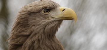 EU野鳥指令のお蔭でオジロワシの個体数は増加している 写真提供: BZD, Flickr