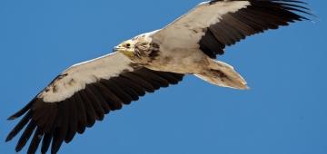 エジプトハゲワシはもっとも小型のヨーロッパ唯一の渡り性ハゲワシで、2007年に絶滅危惧ⅠB類に指定されました。写真提供: Torsten Prohl