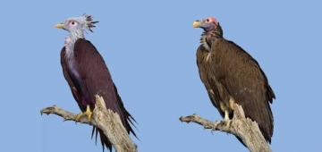 左は画像処理をした'格好良く見える'ミミヒダハゲワシ。右は本物。