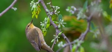 'EUの野鳥公式リスト2015年度更新版'に加わった'新'種の一つカナリーチフチャフ 写真提供: Orientalizing/Flickr