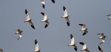 飛翔するマミジロゲリ 写真提供: Mustafa Culcuoglu/Doga Dernegi