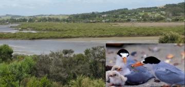 マンガファイ湾とニュージーランドヒメアジサシ 写真提供: Karen Bair and Brian Chudleigh