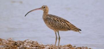 世界の推定個体数32,000羽のホウロクシギのうち5,000羽超がセンサス中にカウントされました。 写真提供: Li Zai