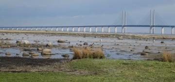 Öresund橋を背景にしたソルトホルム島IBAのカオジロガン。デンマークのNGOがこのサイトを守るためにデンマークとスウェーデン当局に働きかけた結果、橋を島を横切るのではなく迂回するように建設された。 写真提供: Ebbe Mortensen, local caretaker
