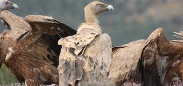 スペインにはヨーロッパのシロエリハゲワシの95%が生息しています。 写真提供: Carles Carboneras