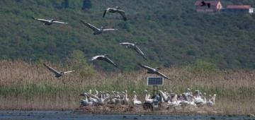 プロジェクトによる営巣用筏の一つに居るハイイロペリカンの群 写真提供: モンテネグロ自然史博物館