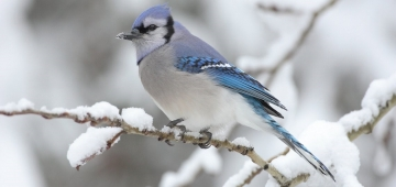 Blue Jay © Wikicommons