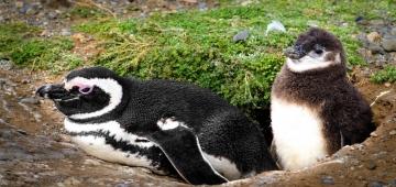 巣穴に居るマゼランペンギン© Australis Photography