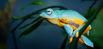 生物多様性条約締約国会議は自然と調和した未来を目指しています。写真は準絶滅危惧種ジャワトビガエル © Aleksey Stemmer