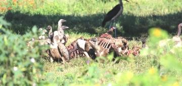 ザンビアのチサンバの農場にあるIBAサイトでハゲワシが動物の死骸を食べているところ。この場所を「ハゲワシ安全地帯」とする取り組みが進行中。©BWZ