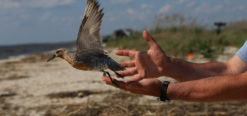 「モートゥス」を装着して放鳥されるコオバシギ © Yves Aubry